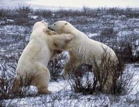 These bears have bad posture