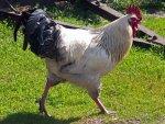 Cock (by Andrzej Barabasz)